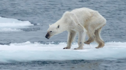 Global Warming and its Drastic Effect on Polar Bears