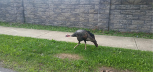 "LOCAL ""KLEIN TURKEY"" CAPTIVATES RESIDENTS"